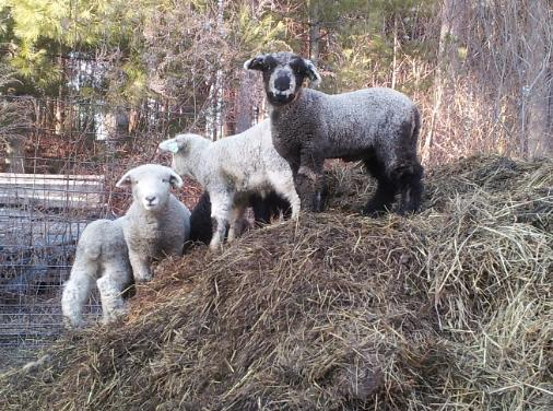 Natural Colored Romney Sheep